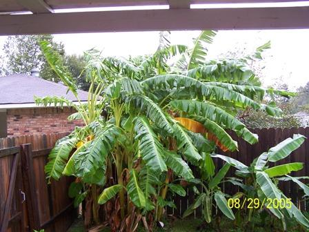 My poor banana tree.JPG