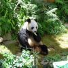 A Real Life Panda, eating a banana Ocean Park Hong Kong